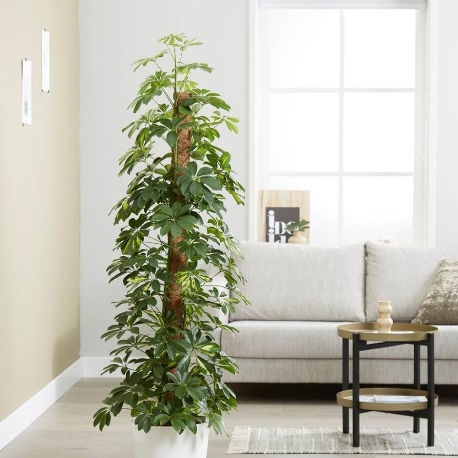 tall indoor plants with big leaves