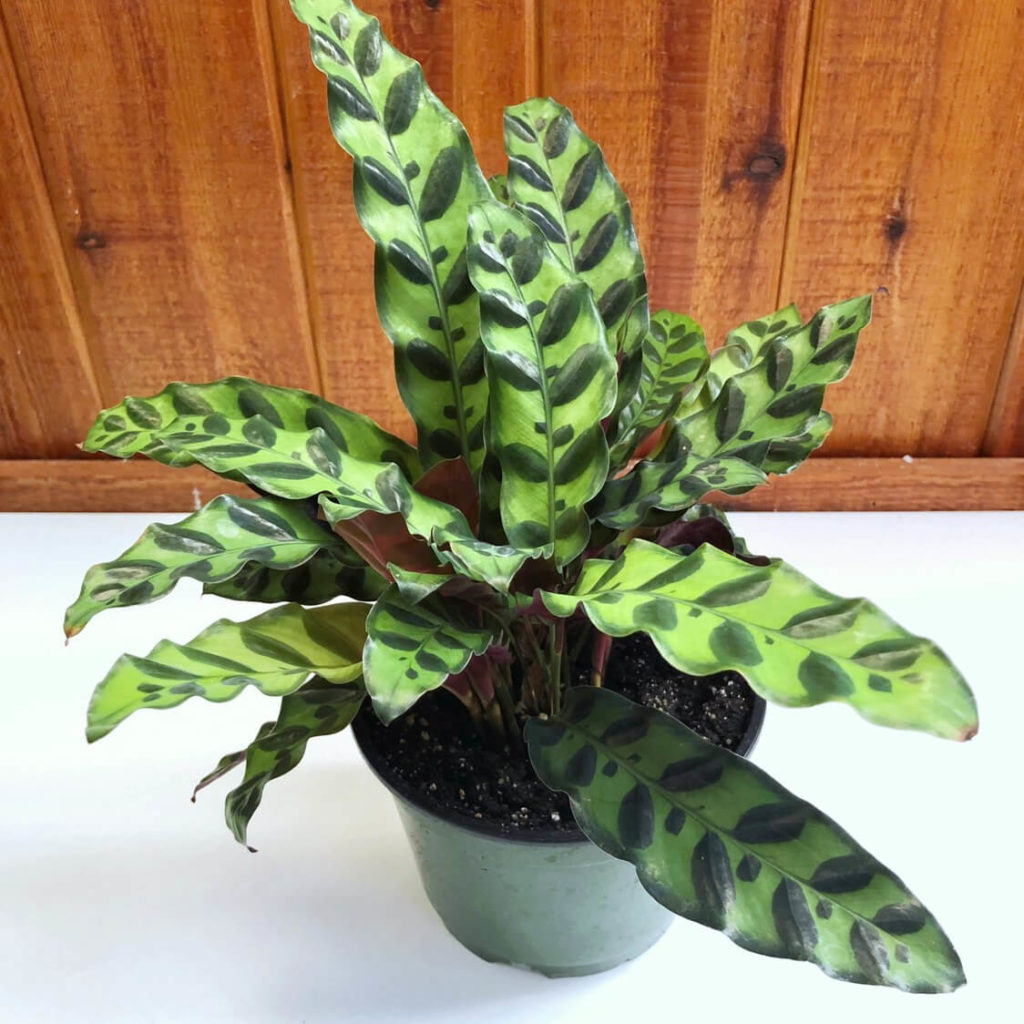 low light indoor plants for darker corners - Rattlesnake Plant
