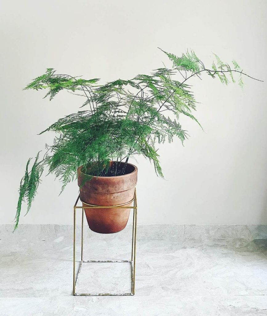 low light indoor plants for darker corners - Asparagus Fern
