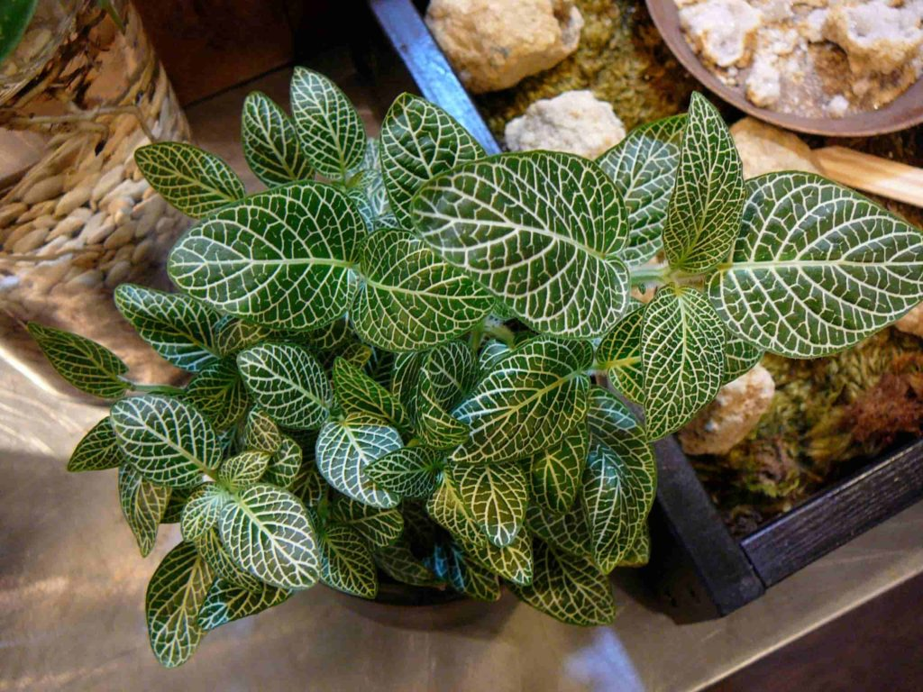 low light indoor plants for darker corners - Fittonia