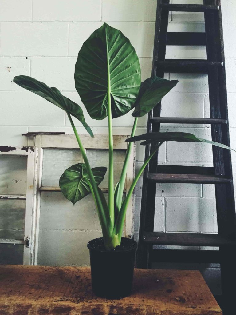 low light indoor plants for darker corners - Elephant's Ear