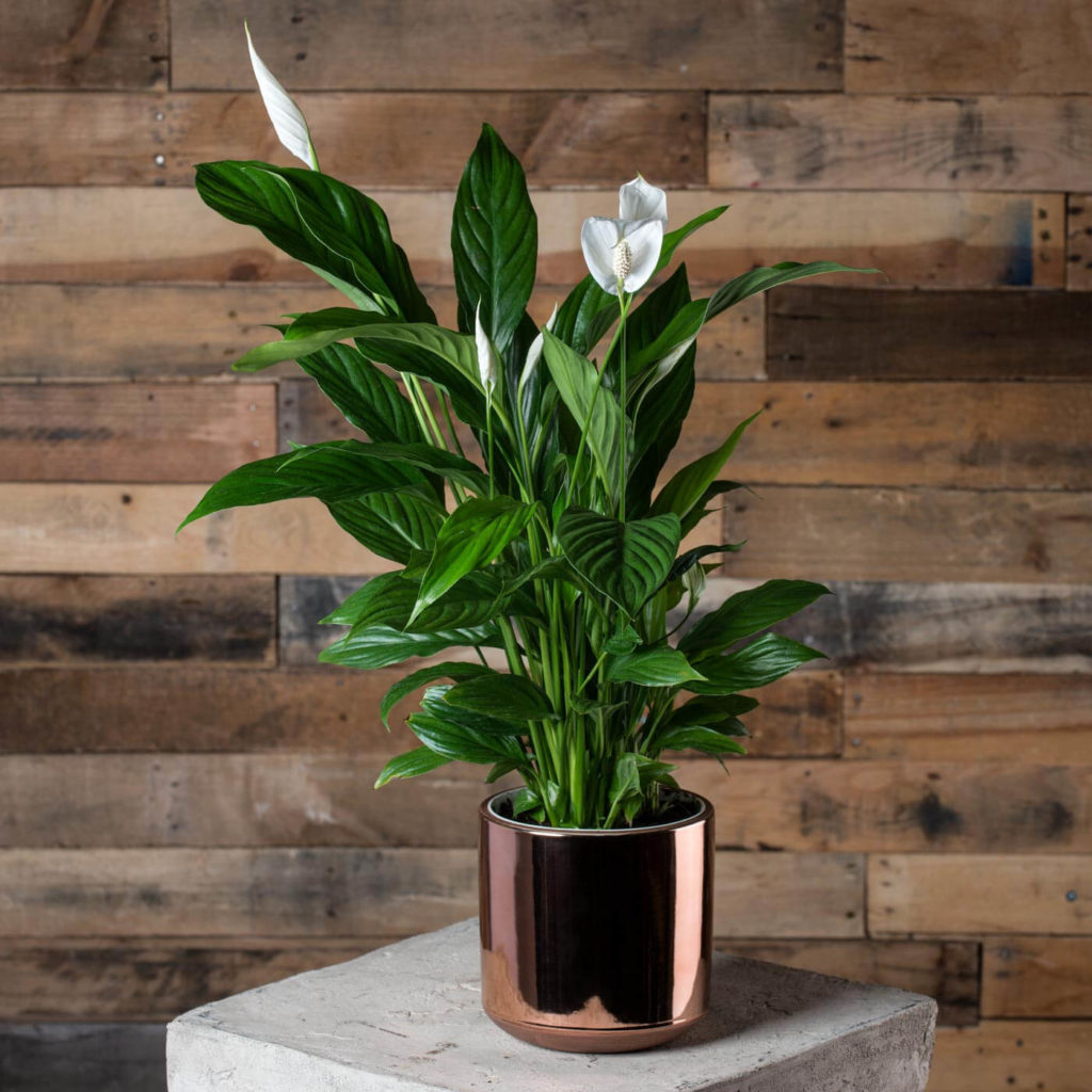 low light indoor plants for darker corners - Peace Lily
