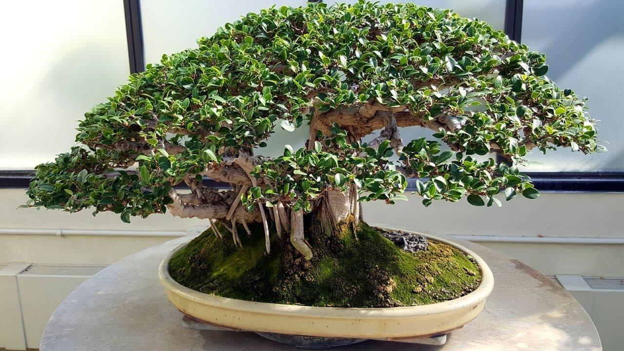 Banyan Bonsai tree 18