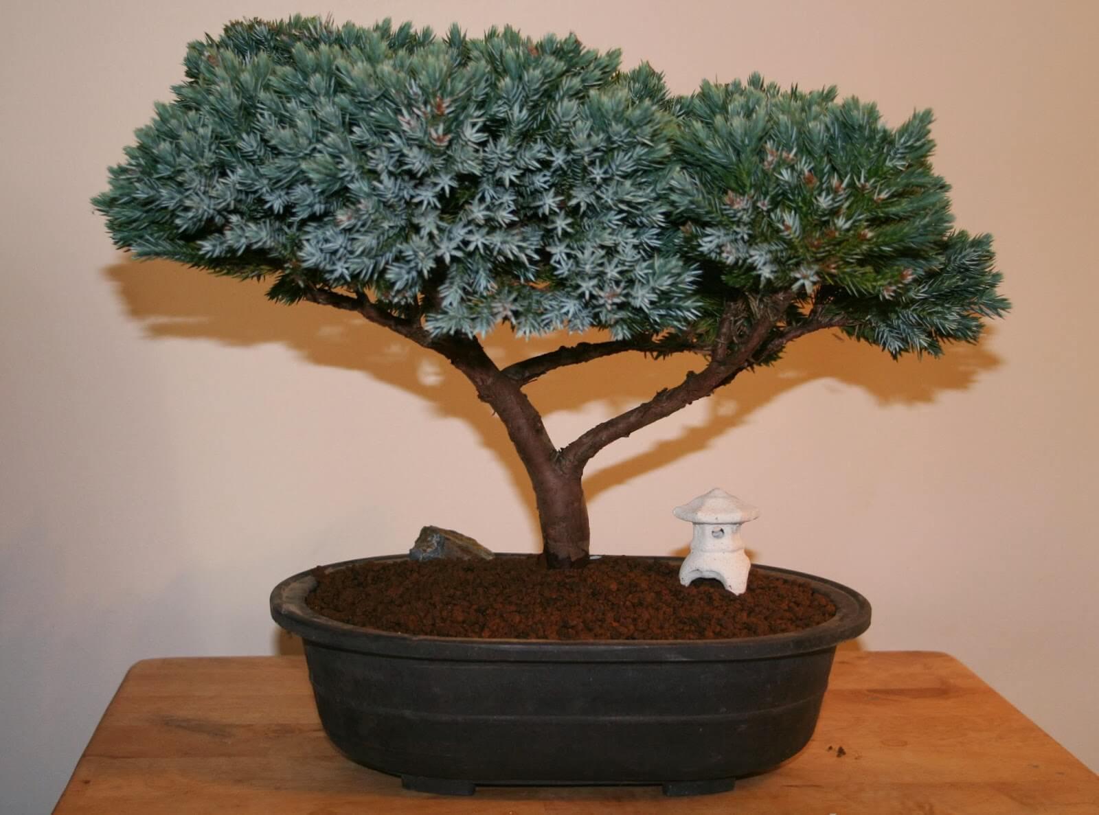 Blue star juniper bonsai tree 9