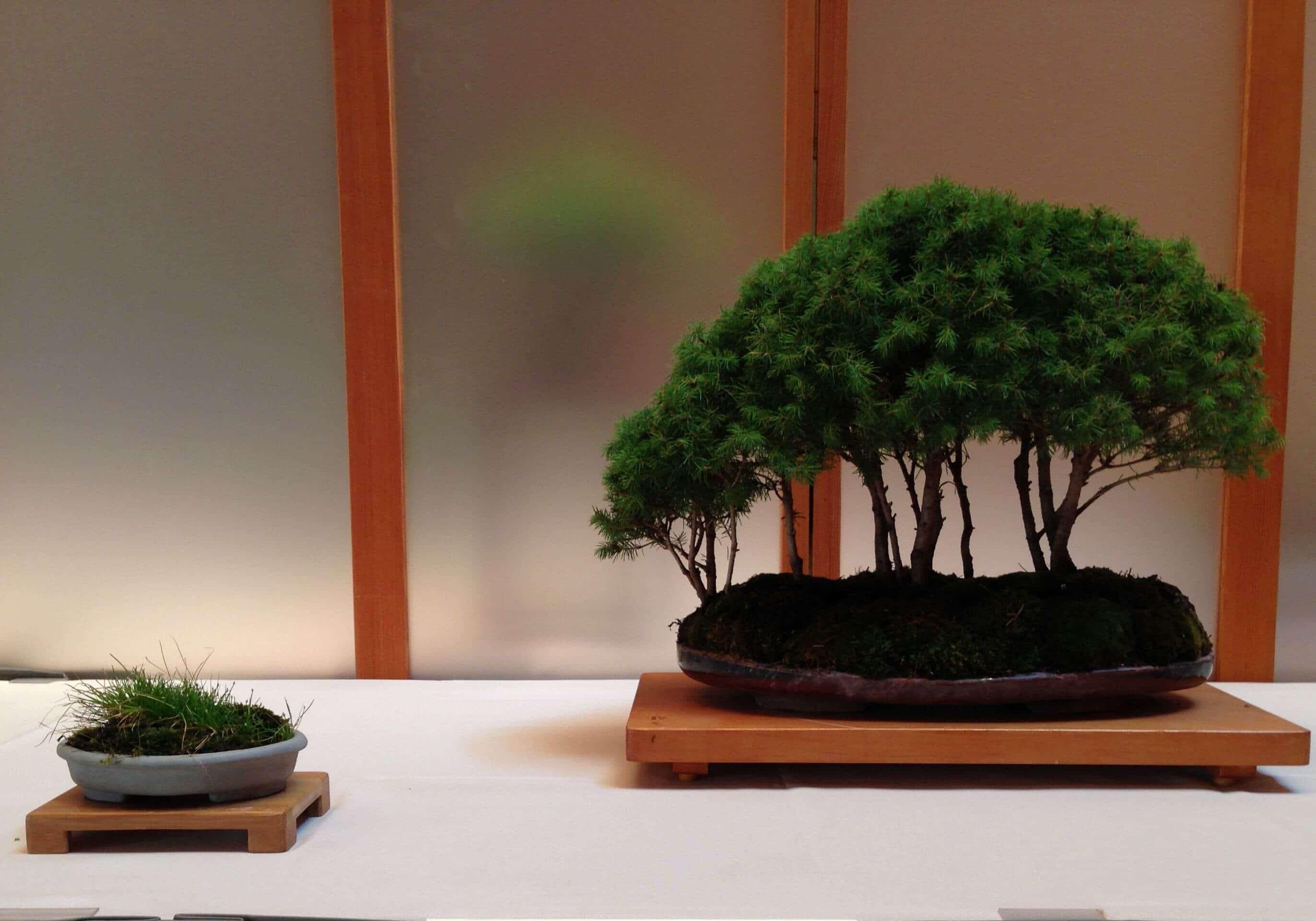 Dwal Albarta Spruce Bonsai 7