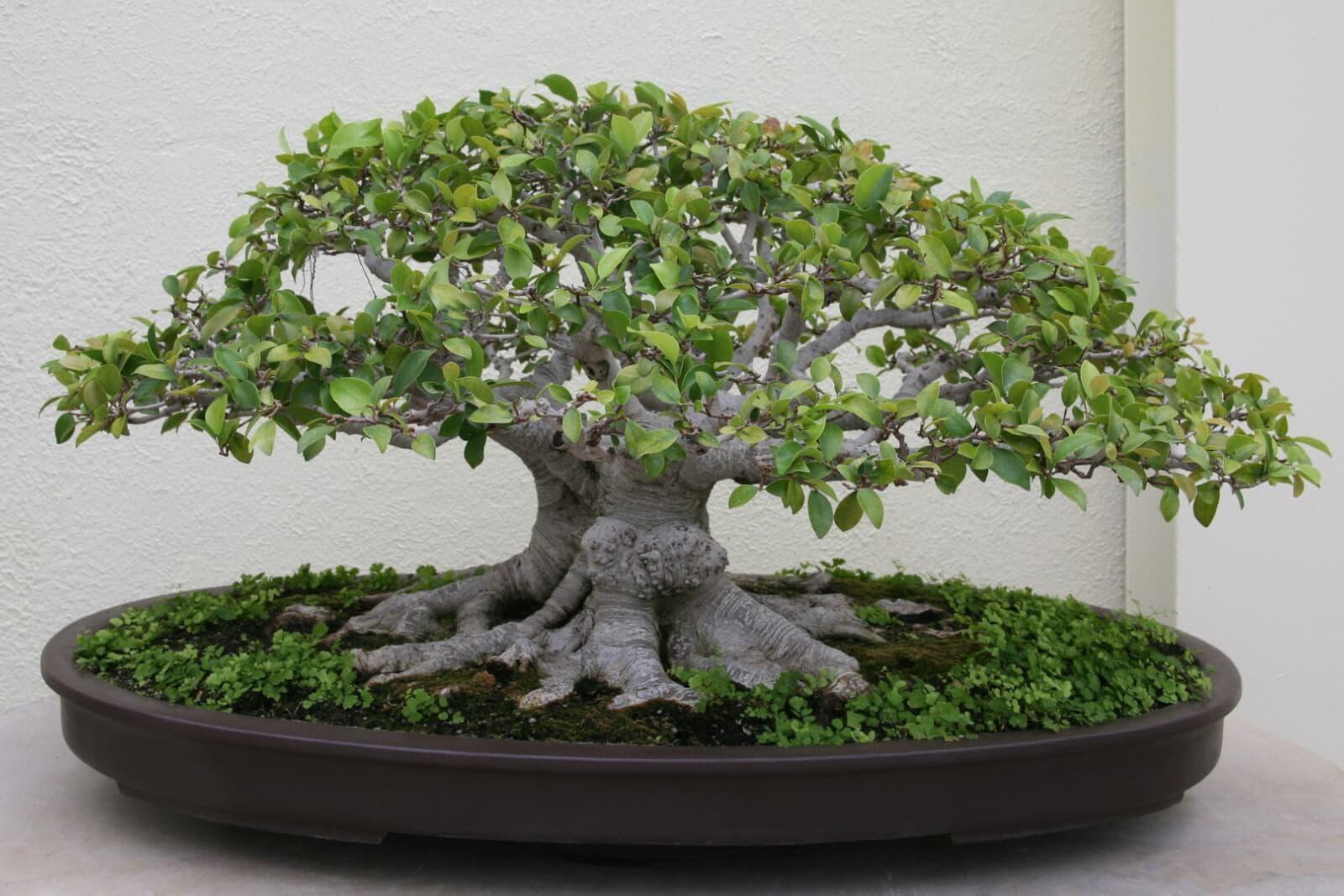 Ficus Microcarpa ginseng ikea 3