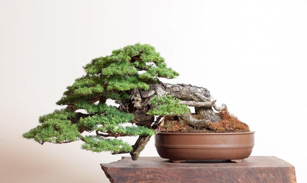 Homlock Bonsai 14