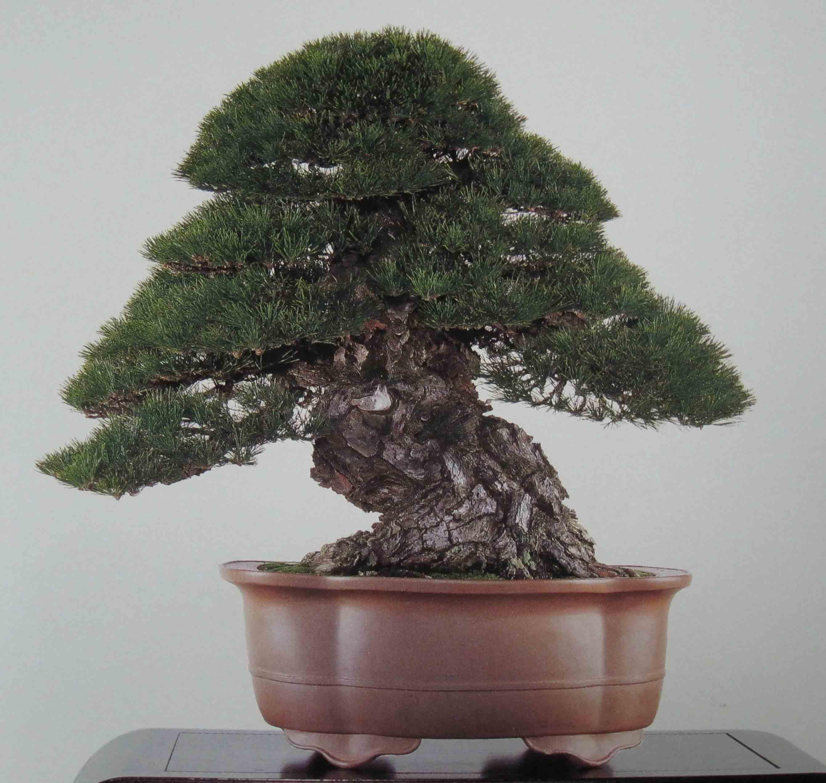 Japanese Dark Pine Bonsai 10