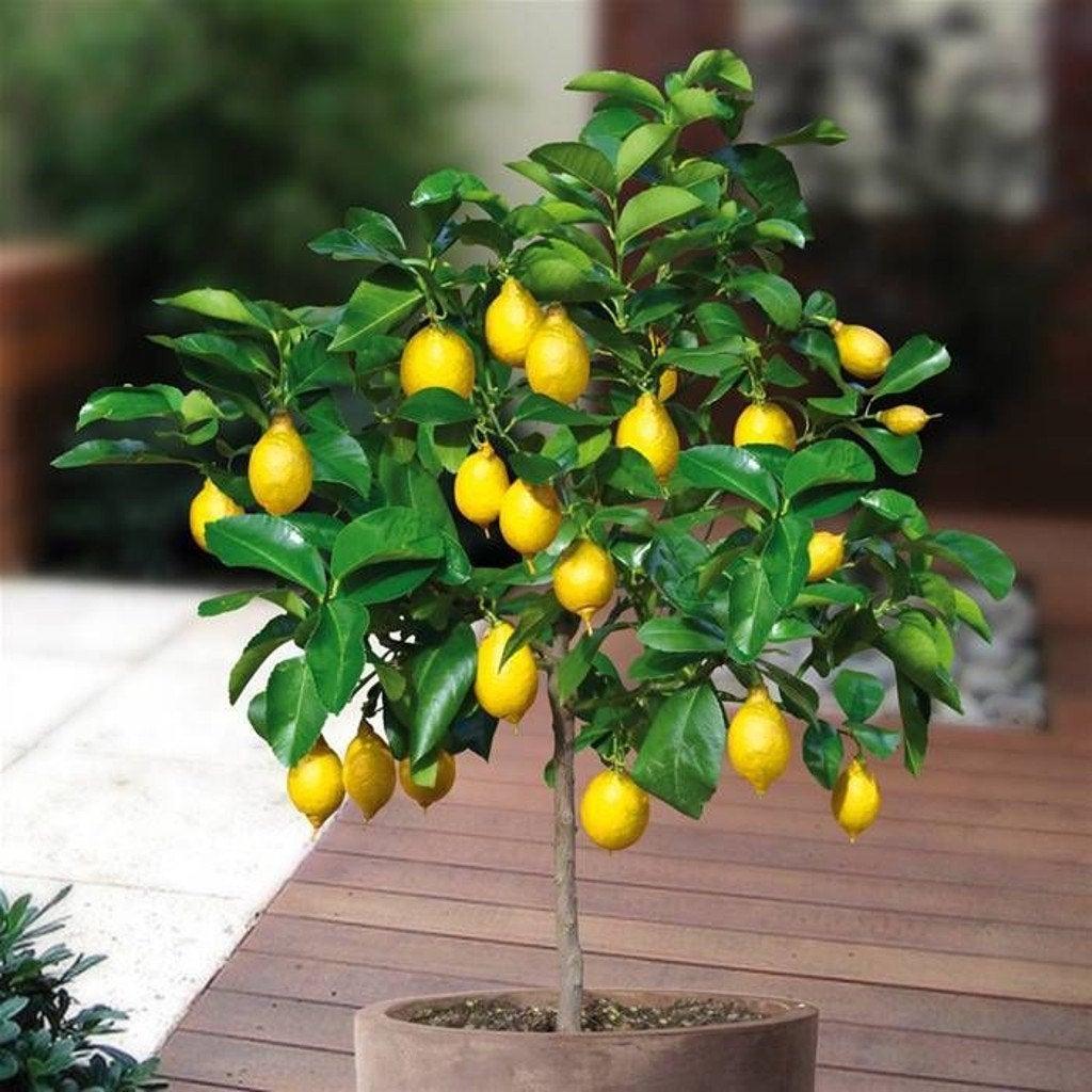 Lemon Bonsai Tree 17