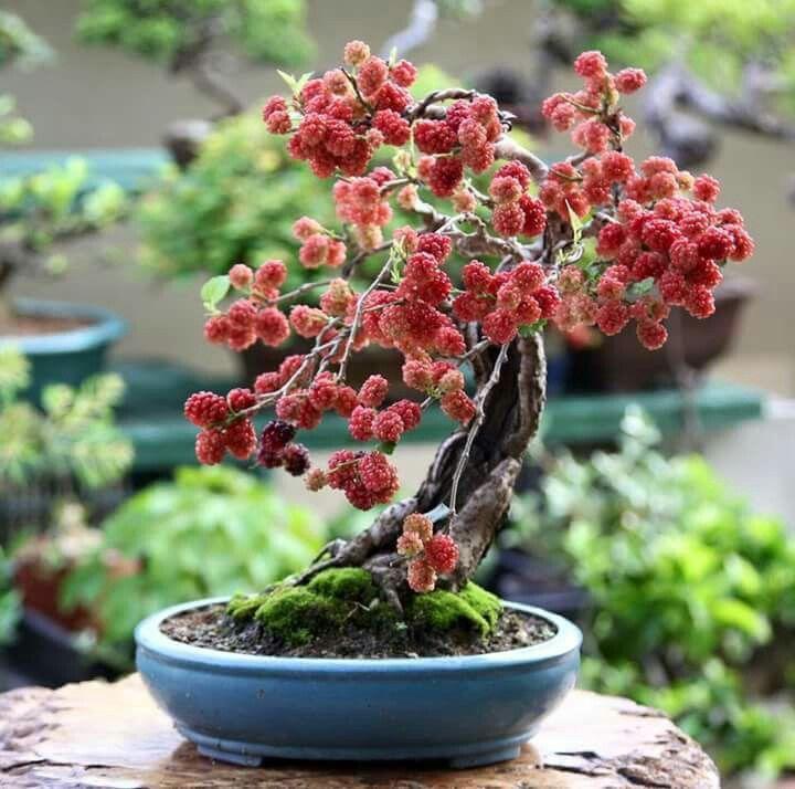 Mulberry Bonsai 8