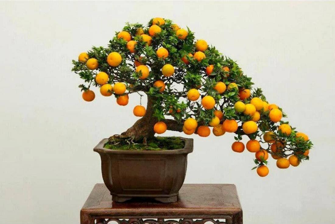 Orange Bonsai tree 16
