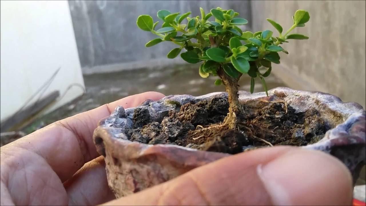 Premna Microphylla Bonsai 11