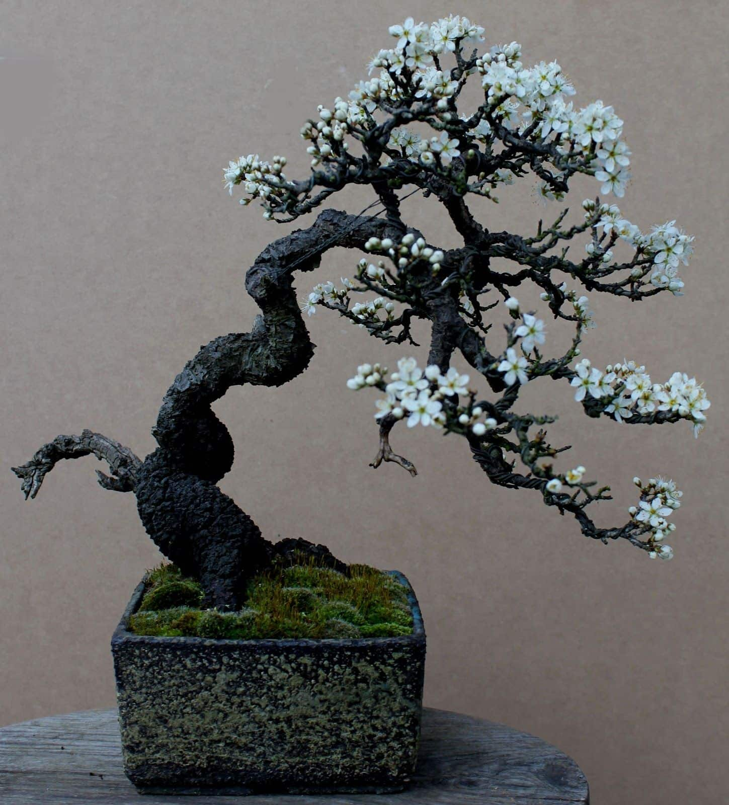 Semi Cascade Bonsai 12