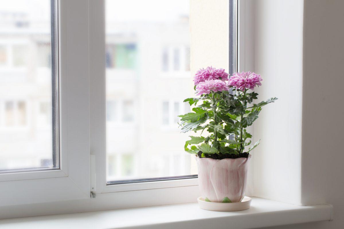 Florist chrysanthemum