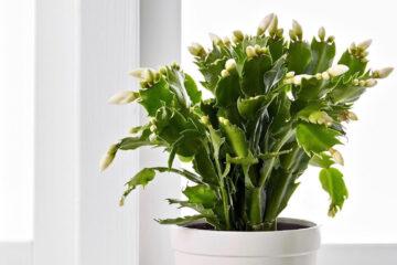 Christmas-cactus-1