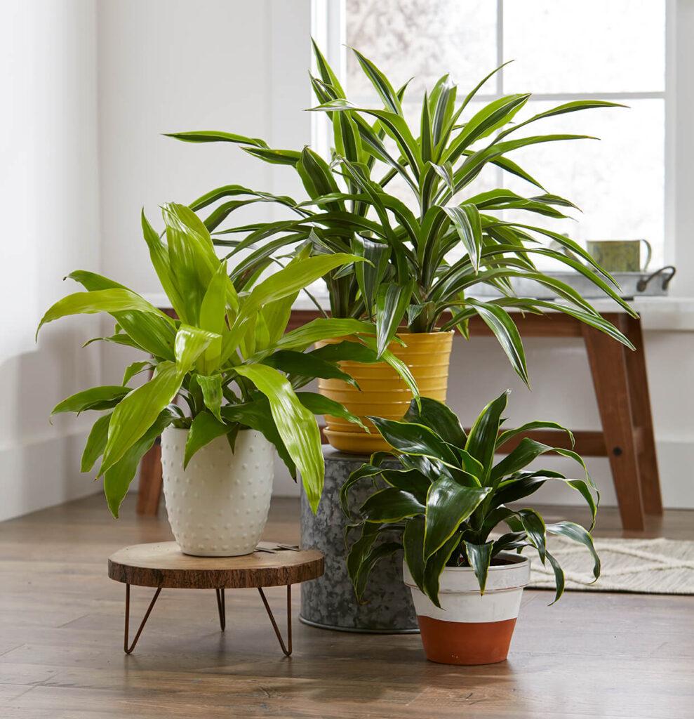 big leaves plant