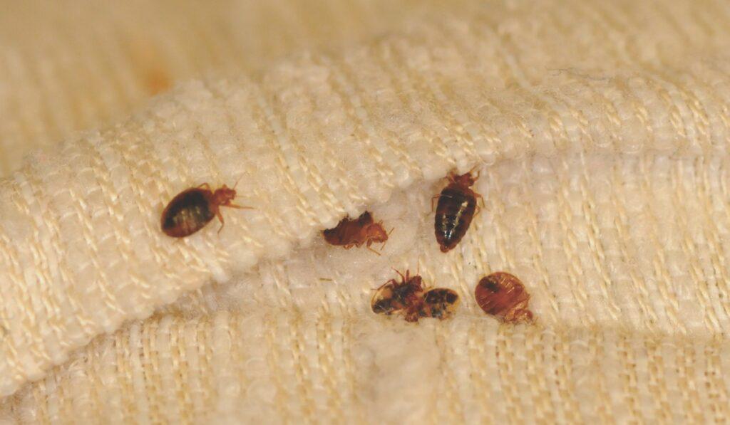 Get Rid of Bedbugs