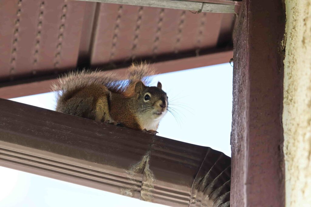 Hire a Professional for Squirrel Removal